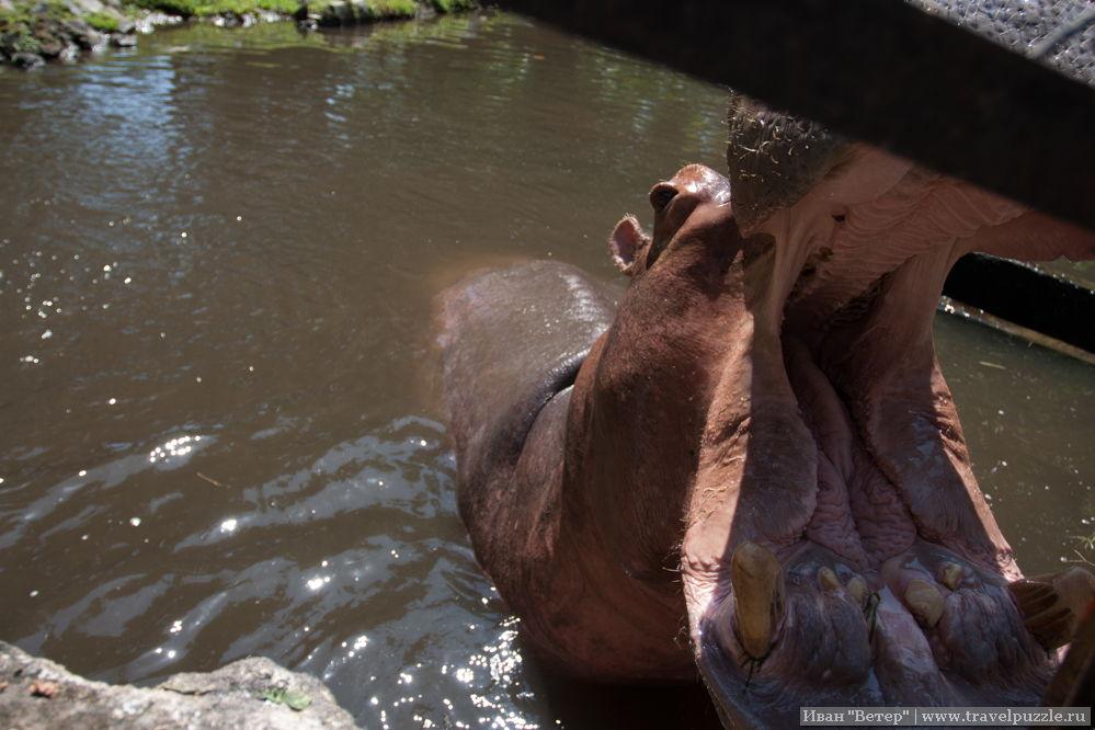Бегемот в зоопарке в Джокьякарте