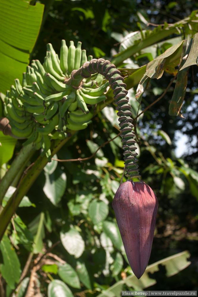 Как растёт банан