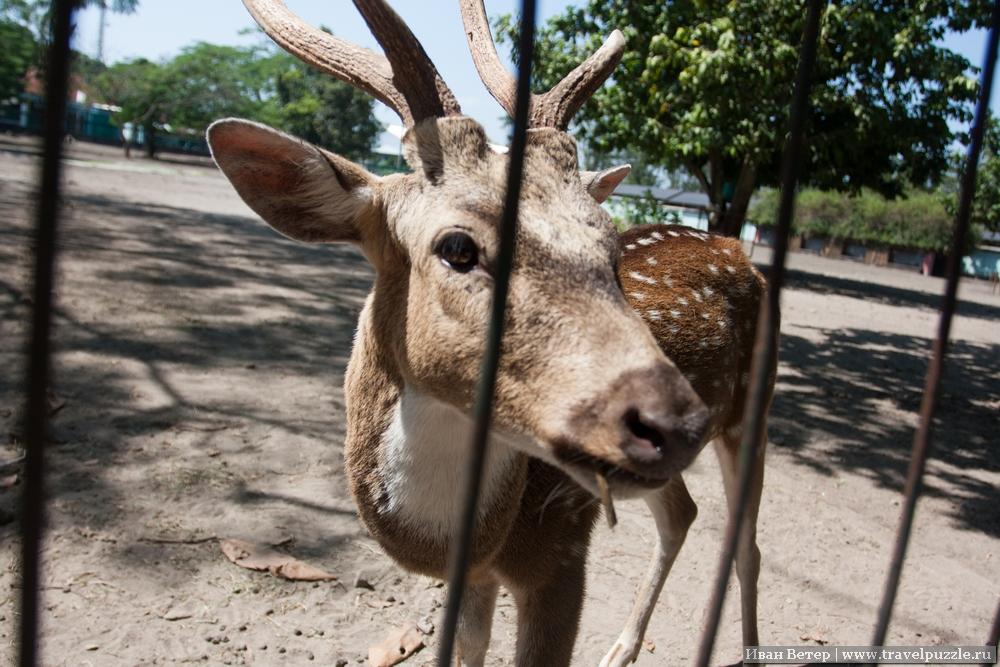Индонезийцы обожают оленей. Во многих популярных местах есть загоны с ними и Прамбанан не исключение. Конечно же, рядом есть человек, который за скромную плату даст вам травы для кормёжки этого красивого зверя.