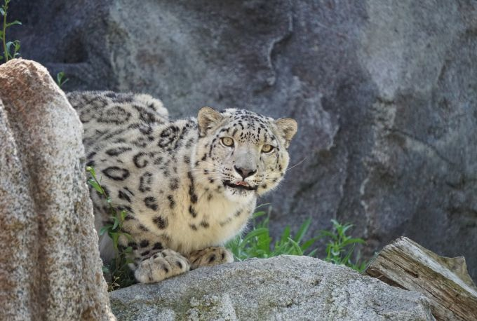 Snow Leopard in wilderness