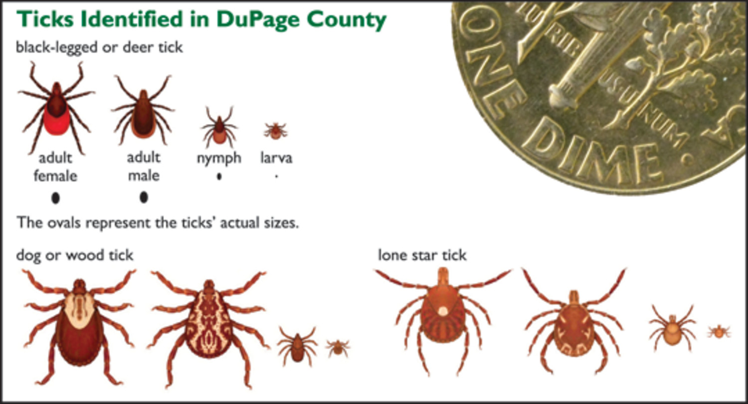 What do Ticks Look Like  Tick Pictures  TickBitesnet