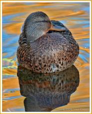 Mallard Duck in automn gold (F)