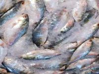 Chandpur Barrostashan fish tank has been filled with fresh hilsa