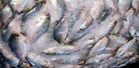 Chandpur Barrostashan fish tank has been filled with fresh hilsa
