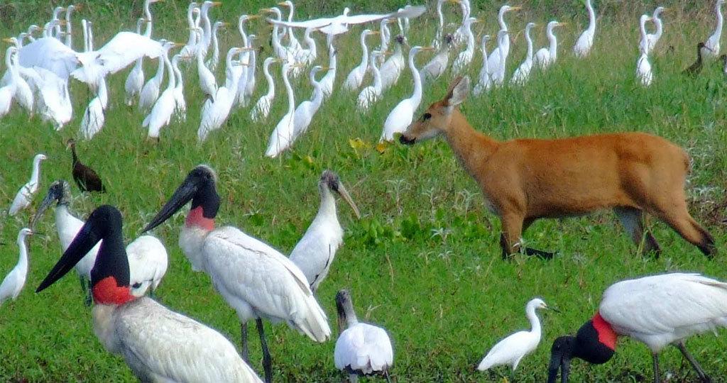Pantanal - Brazil