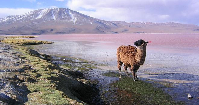 Lhama - Bolivia