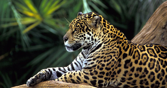Leopard - Amazon - Brazil