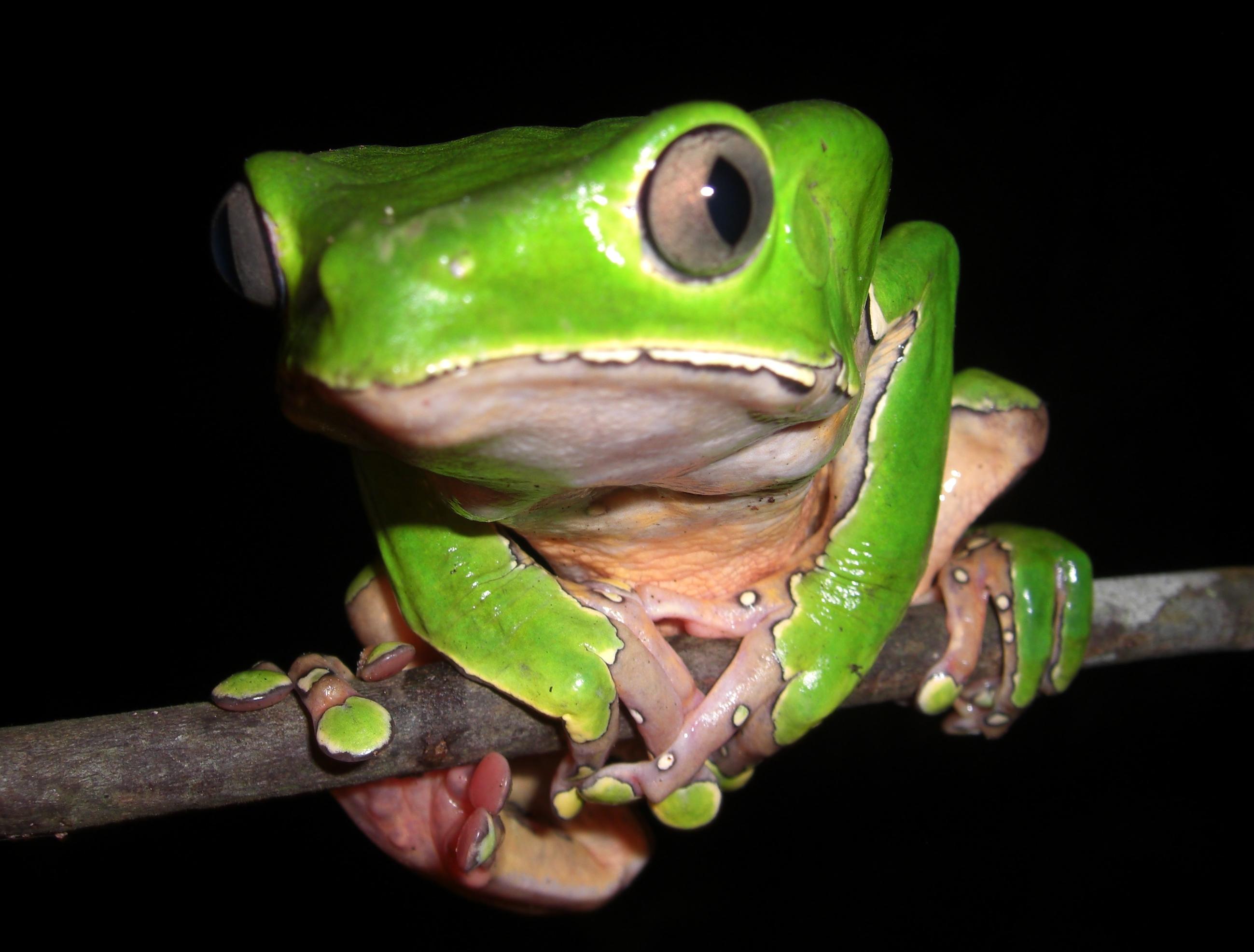Tree Frog - Amazon - Brazil