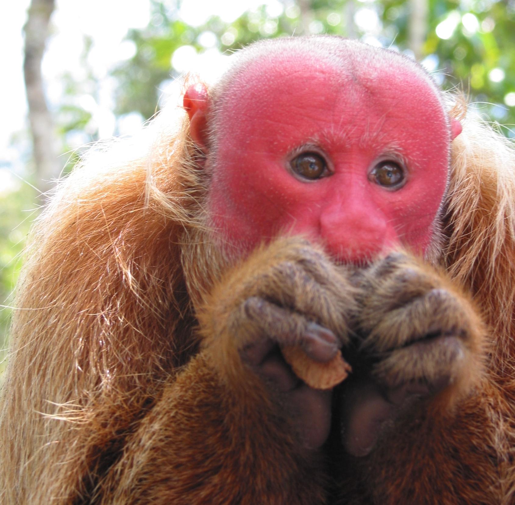 Uacari Monkey - Amazon - Brazil