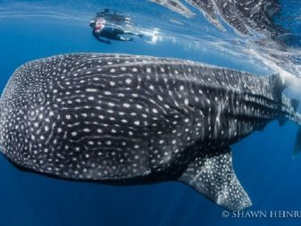 whale shark richard