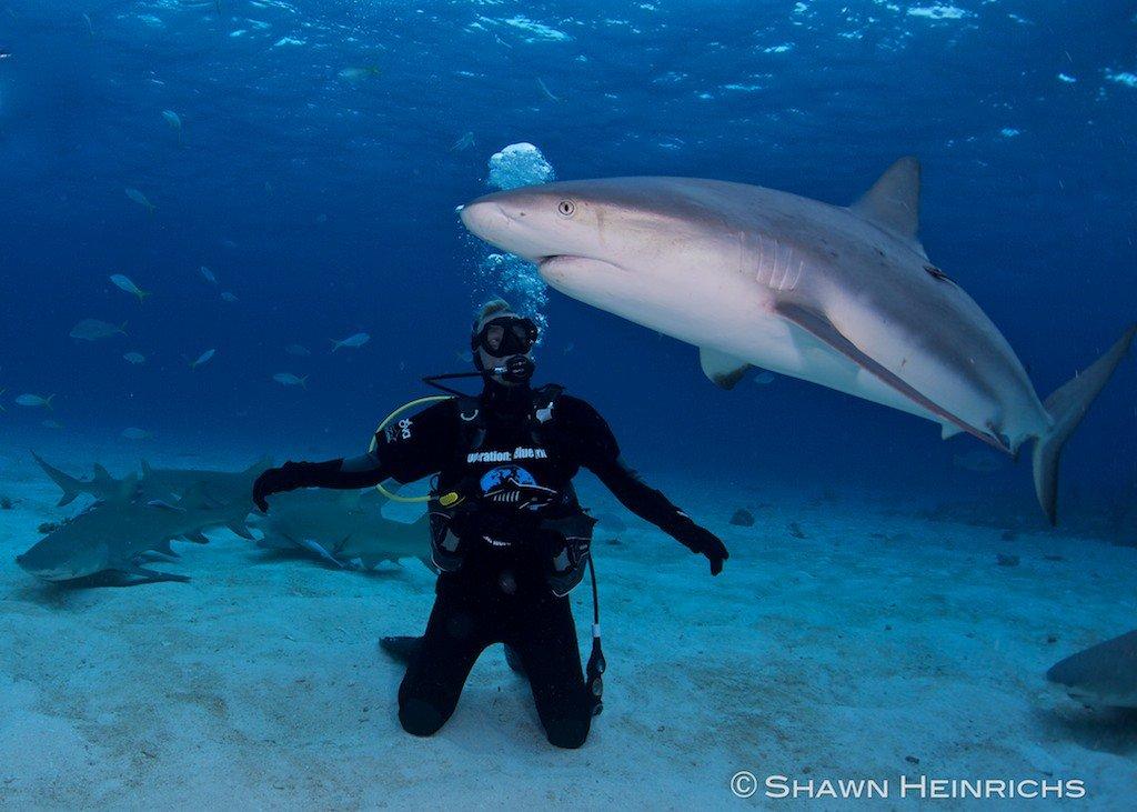 Tiger Sharks In Virgin Islands