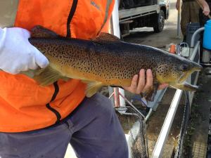 VIDEO: Kamchatka steelhead project