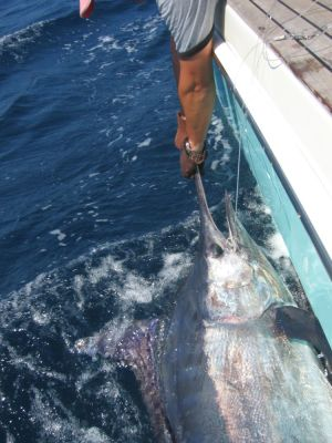 Black marlin tagged off Cairns completes massive journey