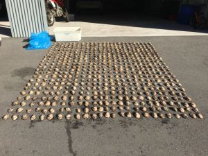 Fisheries charges abalone and lobster offenders on NSW South Coast