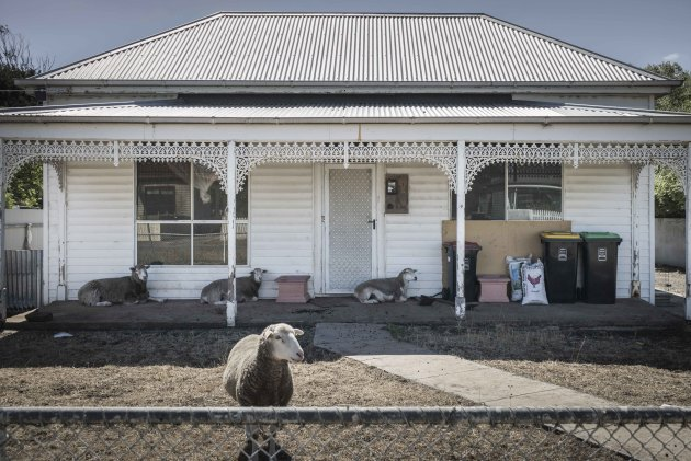 The Lambs. A family of sheep taking shade under a veranda in country Victoria © Deborah Bonney.
