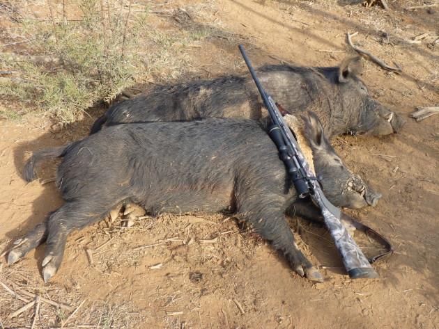 A couple of good boars dispatched neatly with the .308