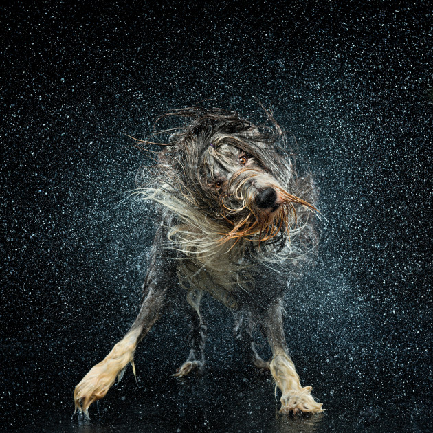 Sonic, the Bearded Collie loves to play in the water. This photo has won many awards including Platinum Award and Grand Prize for Portraiture at WPPI 2014 and Gold Award at APPA 2013. © Ken Drake.