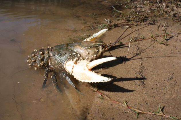 Murray crayfish season opens june 1st fishing world for How to season fish