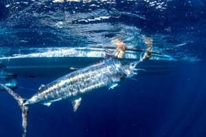 Black marlin packs on weight swimming from Fraser to Port Stephens!