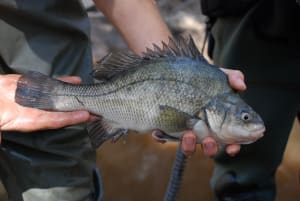 Scientists succeed in decade-long Macquarie perch wild-spawning project