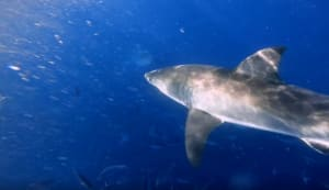 VIDEO: Sharks are attracted to death metal music