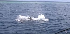 VIDEO: Monster dogtooth tuna gets airborne chasing a stickbait