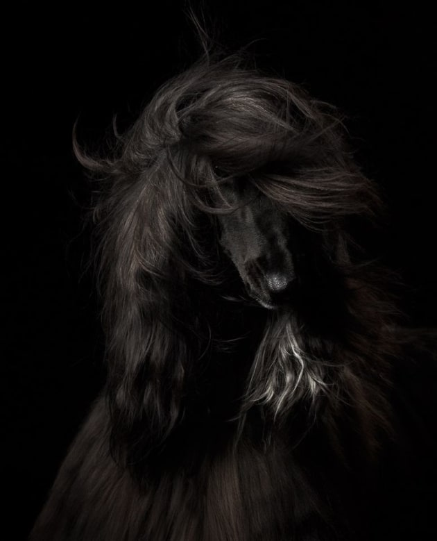 An Afghan Hound flicks her long hair (Anastasia Vetkovskaya)