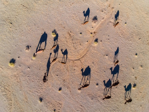 Camel by Abbas Rastegar. Camels cast a long shadow in the sun of the desert on a trek to find water.