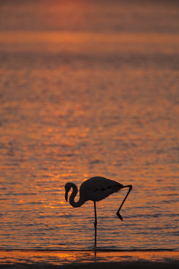 Resist the temptation to fill the frame with silhouetted subjects. Your subjects can look dense and heavy. Allow the silhouetted outline room within your composition for maximum effect as in this shot of a greater flamingo at dusk. Canon EOS 1Ds Mark II, 500mm f4 lens + 1.4x converter, 1/800s @ f/7.1, -1EV, ISO 320.