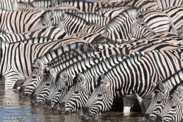 It was the repeat patterns of the animals bowing their necks to drink in the foreground here that attracted us here, giving us a clear route to making pictorial sense of such a large, but random gathering of zebra. Canon EOS 1DS Mark II, 500mm f4 lens + 1.4x converter, 1/320s @ f/13, ISO 160.