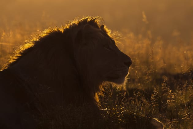 The unmistakable outline of a male lion makes a great subject for backlit treatment particularly when the tufts of his magnificent mane allow the sweet light to shine right through emphasizing that majestic profile. Canon EOS 1DX, 500mm f4 lens, 1/1600s @ f/10, -1/3EV, ISO 400.