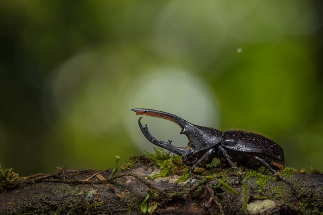 Hercules Beetle, lowland rainforest, Costa Rica Canon 5DsR, Sigma 150-600 mm zoom lens, tripod, f/8, 1/30, ISO 100, one flash off-camera, small softbox