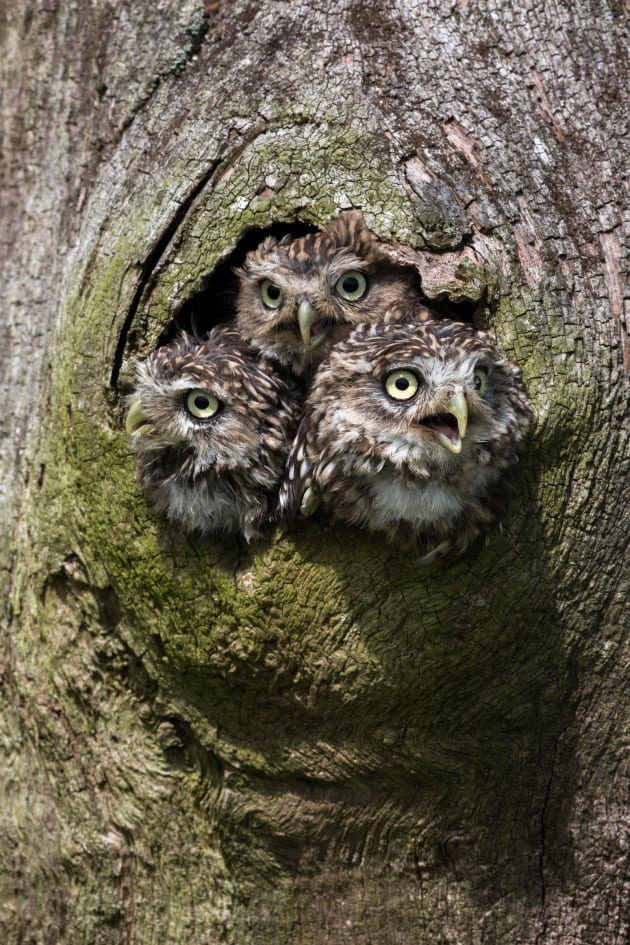 Family units, like this clutch of young little owls, are an obvious choice when photographing groups of wildlife, but make sure even if they're quite closely huddled that you have enough depth of field to ensure the whole group is sharp. Canon EOS 5D Mark III, 100mm to 400mm f4-5.6 zoom lens, 1/200s @ f/16, ISO 320.