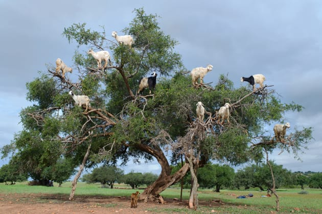 Goats climb an argan tree near Marrakesh, Morocco. They climb the tree for the argan nut. © Deanne Fitzmaurice.