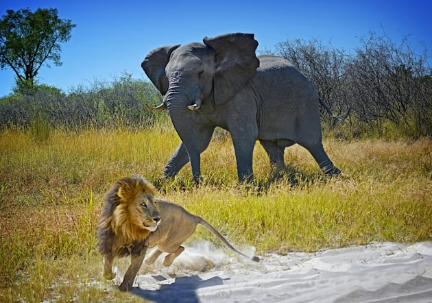 Elephant Chases Lion by Les Ryan