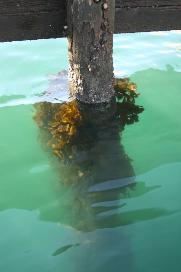Pylons covered in marine life are everywhere in the harbour and are a haven for small crustaceans that bream love to eat.