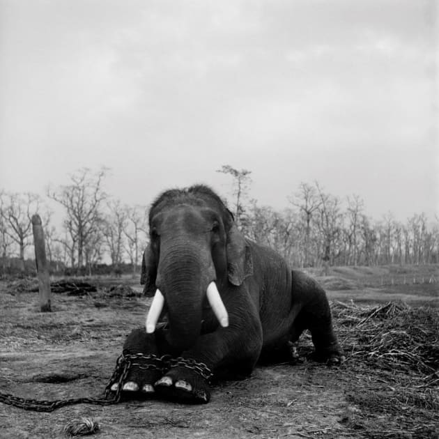A large bull elephant sits with its legs chained in Chitwan National Park. This 50-year-old beast was restrained because he had killed five mahouts (handlers) during his lifetime. Nepal, 2003. From the book, Trading to Extinction. © Patrick Brown.