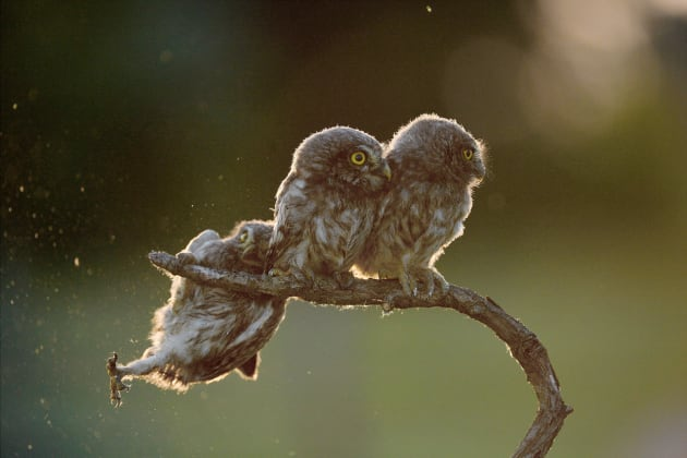 An owl struggles to keep his grip as his owl friends look the other way in Tibor Kercz's