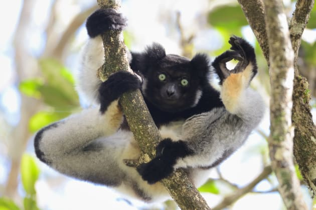 An Indri flashes the A-OK sign in Yamamoto Tsuneo's