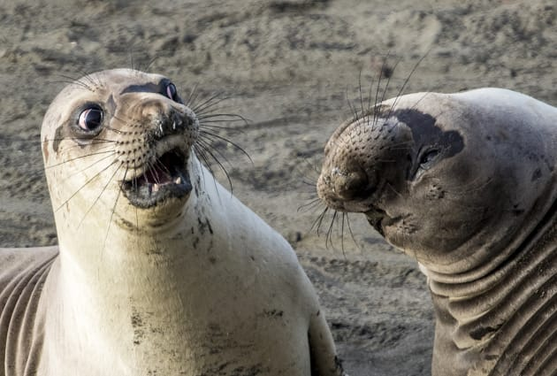 A young elephant seals looks shocked at his friends revelation in George Cathcart's
