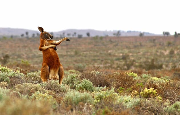 A red kangaroo starts his day with some martial arts in Andrey Giljov's