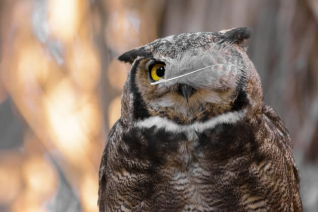 An owl shows off its eye patch in Andres Vejar's