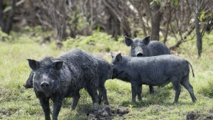 1070 Pigs Killed in Aerial Cull