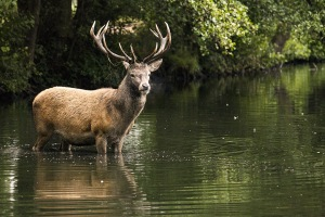 Deer and Goats Blamed for Destroying Aquatic Ecosystems