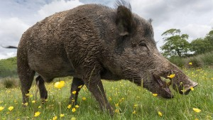 Feral Fighters Program - Targeting Inverell Feral Pigs