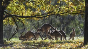 Volunteer Non-Commercial Kangaroo Shooting - Everything You Need to Know