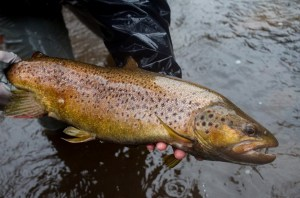 Thredbo and Eucumbene trout spawning regulations