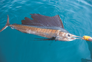 How to catch sailfish