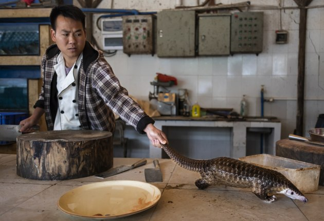 © Brent Stirton, South Africa, Getty Images, for National Geographic. Pangolins in Crisis. A man reaches for a pangolin that is about to be slaughtered and prepared for a meal in a restaurant on the outskirts of Guangzhou, China, on 4 January 2019. Pangolin meat at the restaurant sells for around US $376 per kilogram.