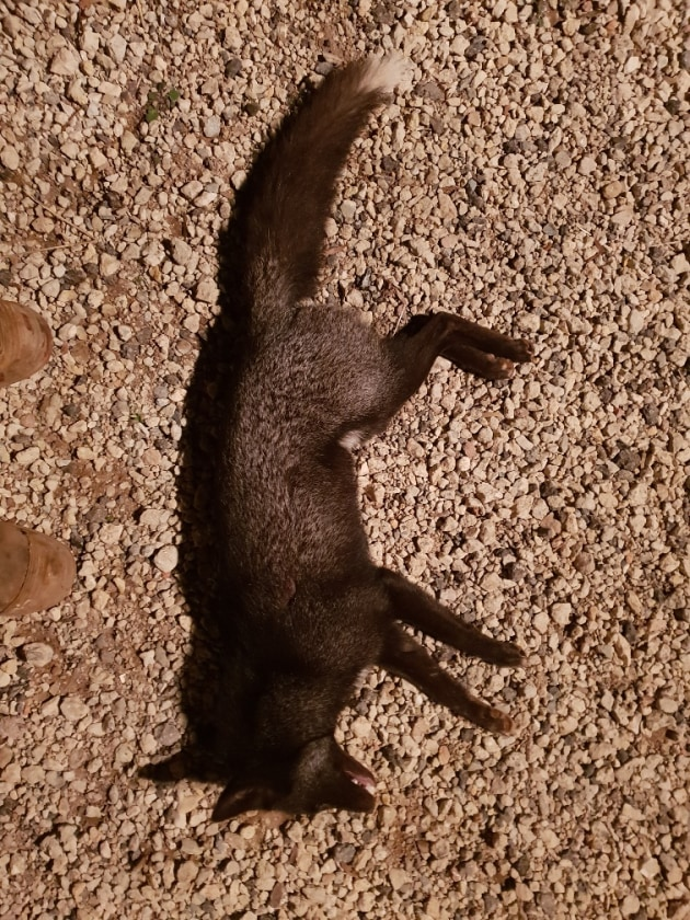 Black Fox laid full length for appraisal soon after shooting.